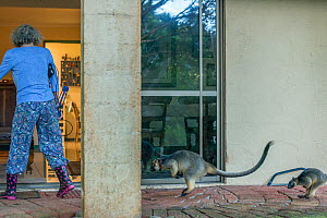 Margit Cianelli with hand raised Lumholtz tree kangaroo (Dendrolagus lumholtzi) 'Kimberley' and her semi wild son 'Monty' following her into the house after a day out in the forest. Lu... - Jurgen Freund