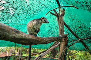 Lumholtz's tree-kangaroo (Dendrolagus lumholtzi) juvenile in secure outside exercise area. Lumholtz Lodge, Atherton Tablelands, Queensland, Australia.  -  Jurgen Freund