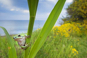 Lemon-yellow tree frog (Hyla savignyi) peering around coastal plant. Cyprus. April. - Edwin Giesbers