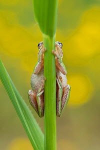 Lemon-yellow tree frog (Hyla savignyi) climbing up grass stem. Cyprus. April.  -  Edwin Giesbers