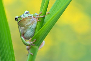 Lemon-yellow tree frog (Hyla savignyi) on grass stem. Cyprus. April. - Edwin Giesbers