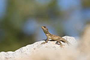Starred agama (Stellagama stellio cypriaca) basking on rock. Cyprus. April.  -  Edwin Giesbers