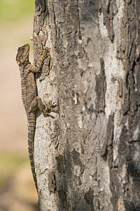 Starred agama (Stellagama stellio cypriaca) on tree trunk. Cyprus. April.  -  Edwin Giesbers