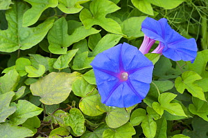 Blue morning flower (Ipomoea indica) flowers and carpet of leaves. Cyprus. April. - Edwin Giesbers