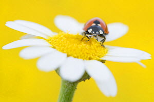 Seven spot ladybird (Coccinella septempunctata) on Mayweed (Anthemis sp) flower. Cyprus. April.  -  Edwin Giesbers