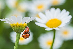 Seven spot ladybird (Coccinella septempunctata) pair mating on Mayweed (Anthemis sp) flower. Cyprus. April.  -  Edwin Giesbers