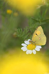 Clouded yellow butterfly (Colias crocea) nectaring on Mayweed (Anthemis sp) flower. Cyprus. April. - Edwin Giesbers
