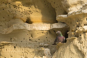 Rock dove / pigeon (Columba livia) perched on rockface. Cyprus. April. - Edwin Giesbers