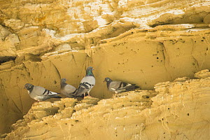 Rock dove / pigeon (Columba livia), four standing on ledge in rockface. Cyprus. April. - Edwin Giesbers