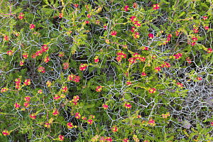 Thorny burnet (Sarcopoterium spinosum) Cyprus. April.  -  Edwin Giesbers