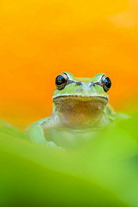 Lemon-yellow tree frog (Hyla savignyi) looking at camera, portrait. Cyprus. April. - Edwin Giesbers