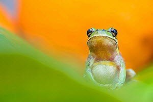 Lemon-yellow tree frog (Hyla savignyi) Cyprus. April.  -  Edwin Giesbers