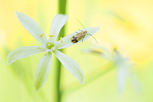 Star of Bethlehem (Ornithogalum narbonense) flower, insect on petal. Cyprus. April.  -  Edwin Giesbers