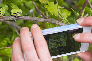 Person using mobile phone to photograp Lemon-yellow tree frog (Hyla savignyi) Cyprus. April.  -  Edwin Giesbers