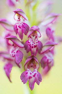 Fragrant bug orchid (Anacamptis coriophora), close up. Cyprus. April.  -  Edwin Giesbers