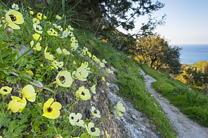 Turban buttercup (Ranunculus asiaticus) growing on bank beside footpath with sea beyond. Cyprus. April.  -  Edwin Giesbers