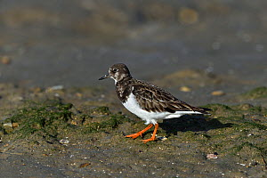 Ruddy turnstone (Arenaria interpres) foraging on the beach, Vendee, France, January.  -  Loic Poidevin
