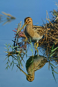 Common snipe (Gallinago gallinago) foraging in water, Le Teich, Gironde, France September. - Loic Poidevin