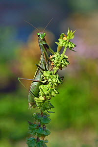European mantis (Mantis religiosa) gravid female on flower head, Vendee, France, October. - Loic Poidevin