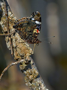 Red admiral (Vanessa atalanta) Vendee, France, October.  -  Loic Poidevin