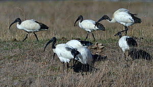 African sacred ibis (Threskiornis aethiopicus) foraging in grass, Vendee, France, October.  -  Loic Poidevin