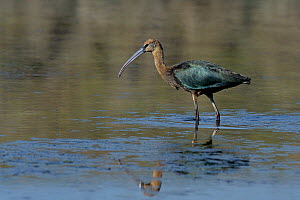 Glossy ibis (Plegadis falcinellus) foraging, Vendeen Marsh, Vendee, France, October. - Loic Poidevin