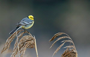 Citrine wagtail (Motacilla citreola) male perched on Reed. Latvia. April.  -  Markus Varesvuo