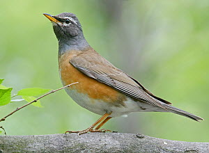 Eyebrowed thrush (Turdus obscurus), standing. Happy Island, Hebei Province, China. May. - Markus Varesvuo