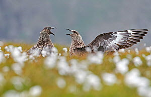 Great skua (Catharacta skua), two in courtship display. Shetland, Scotland, UK. July. - Markus Varesvuo
