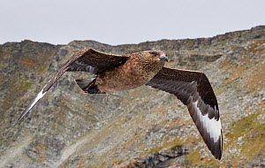 Great skua (Stercorarius skua) in flight with cliff in background. Shetland, Scotland, UK. July. - Markus Varesvuo