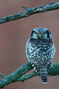 Hawk owl (Surnia ulula), looking at camera with head turned 180 degrees, perched on branch. Helsinki, Finland. November.  -  Markus Varesvuo