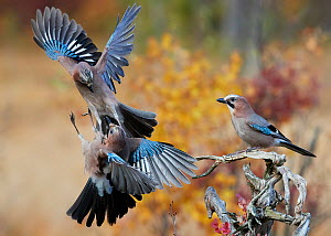 Jay (Garrulus glandarius), two fighting in mid-air with another observing. Norway. October.  -  Markus Varesvuo