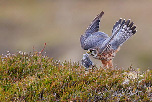 Merlin (Falco columbarius) male landing with prey in beak, in heather. Shetland, Scotland, UK. July. - Markus Varesvuo