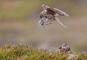 Merlin (Falco columbarius) male in flight with prey to present to mate below. Shetland, Scotland, UK. July. Sequence 1/2. - Markus Varesvuo