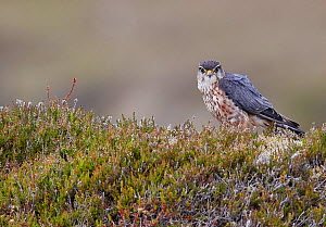 Merlin (Falco columbarius) male standing in heather. Shetland, Scotland, UK. July. - Markus Varesvuo