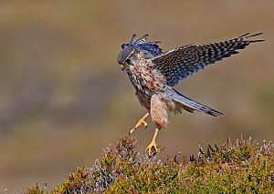 Merlin (Falco columbarius) male landing in heather. Shetland, Scotland, UK. July. - Markus Varesvuo