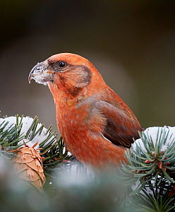 Parrot crossbill (Loxia pytyopsittacus) perched in Fir tree, snow in beak. Helsinki, Finland. December.  -  Markus Varesvuo