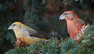 Common crossbill (Loxia curvirostra) juvenile male( left) and Parrot crossbill (Loxia pytyopsittacus) in Fir tree. Helsinki, Finland. December.  -  Markus Varesvuo