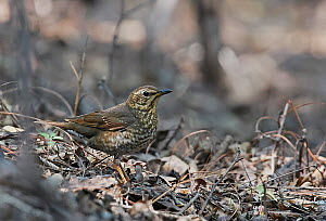 Siberian thrush (Geokichla sibirica) standing on woodland floor. Happy Island, Hebei Province, China. May.  -  Markus Varesvuo