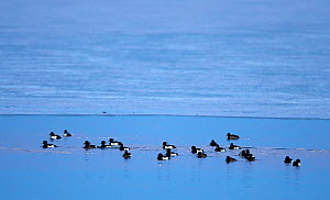 Tufted duck (Aythya fuligula) flock on sea. Uto, Paragas, Finland. March.  -  Markus Varesvuo