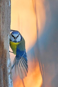 Blue tit (Parus caeruleus) perched on tree trunk, looking at camera with wing stretched. Haukipudas, Finland. January.  -  Markus Varesvuo
