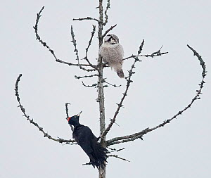 Hawk owl (Surnia ulula) and Black woodpecker (Dryocopus martius) perched in tree. Helsinki, Finland. December. Small repro only. - Markus Varesvuo