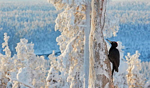 Black woodpecker (Dryocopus martius) male perched on tree trunk, trees covered in hoar frost. Kuusamo, Northern Ostrobothnia, Finland. February. Commended in the Birds in the Environment Category of t...  -  Markus Varesvuo