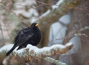 Blackbird (Turdus merula) male perched on snow covered branch. Helsinki, Finland. January.  -  Markus Varesvuo
