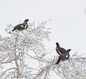 Capercaillie (Tetrao Urogallus) three males perched in frost-covered tree. Salla, Lapland, Finland. February. - Markus Varesvuo