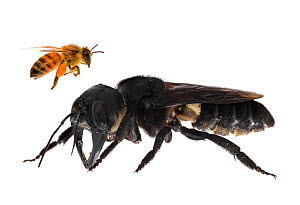 Composite image of Wallace's giant bee (Megachile pluto) with European honey bee (Apis melifera). This is the world's largest bee, which is approximately 4 times larger than a European honey bee. One...  -  Clay Bolt
