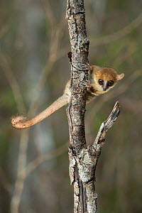 Madame Berthe's Mouse Lemur (Microcebus berthae), the worlds smallest primate, Kirindy forest, Madagascar.  Lenses for Conservation project.  -  Houdin and Palanque