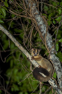 Pale fork-marked lemur (Phaner pallescens) in search for food at night, Kirindy Deciduous Forest, Madagascar. Lenses for Conservation project.  -  Houdin and Palanque