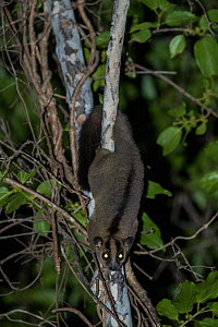 Pale fork-marked lemur (Phaner pallescens) at night, Kirindy Deciduous Forest, Madagascar. Lenses for Conservation project.  -  Houdin and Palanque