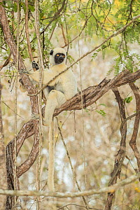 Decken's sifaka (Propithecus deckenii) Tsimembo area, Madagascar.  Lenses for Conservation project.  -  Houdin and Palanque